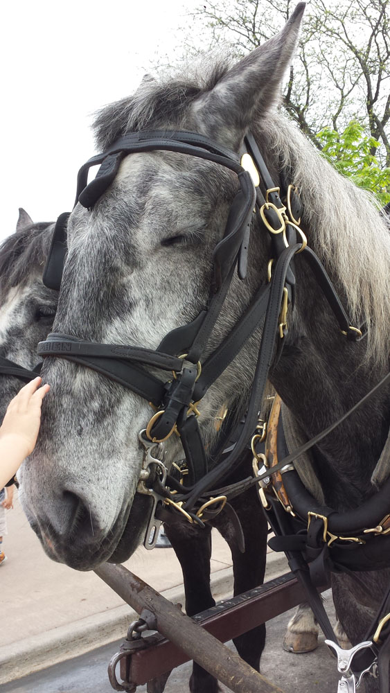 This is a picure of a black and grey horse, hooked up to a carriage (though you can only see the bridle and not the carriage). His name is Steve and Steve's eyes are closed in this picture.