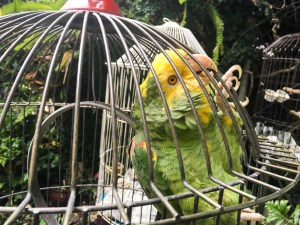 A green parrot with a yellow face, climbing around its cage.