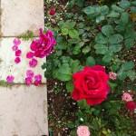 Roses del meu jardí.