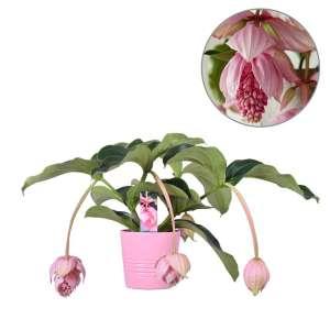 MoreLIPS® - Medinilla - 2 etages, 4 knoppen in roze keramiek - hoogte 60-70 cm - potdiameter: 19 cm - Your Green Present