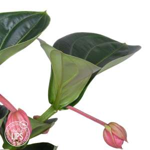 MoreLIPS® - Medinilla Lambada - 2 etagen, 3 knoppen - hoogte 35-45 cm
