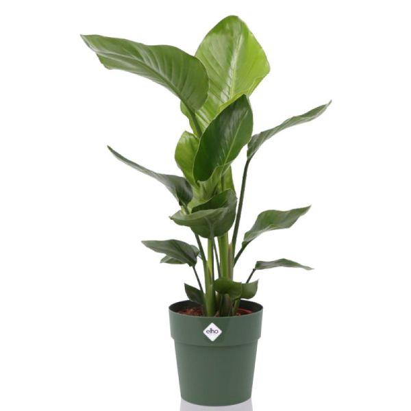 Grote Strelitzia incl. pot