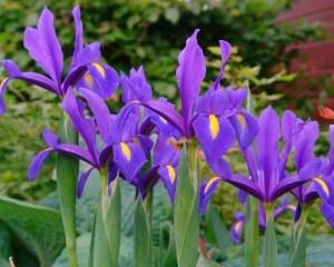 Iris Hollandica Blue Magic