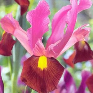 Iris Hollandica Red Ember