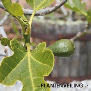 Vijgenboom (Ficus Carica) 'Précoce de Dalmatie' - Winterhard - 3 stuks