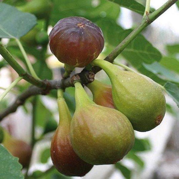 Vijgenboom - Ficus carica 'Brown Turkey (2L)