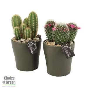 Cactus in mix-keramiek bestellen of bezorgen