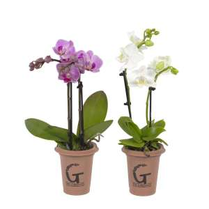 Phalaenopsis The Gardians - set van 2 stuks bestellen of bezorgen
