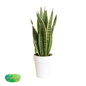 Sansevieria trifasciata - vrouwentong - in keramiek pot wit bestellen of bezorgen