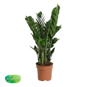 Zamioculcas zamiifolia bestellen of bezorgen