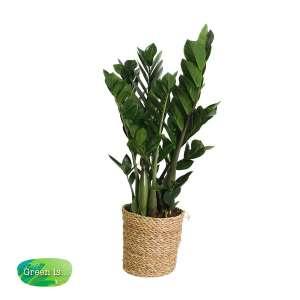 Zamioculcas zamiifolia in maand bestellen of bezorgen
