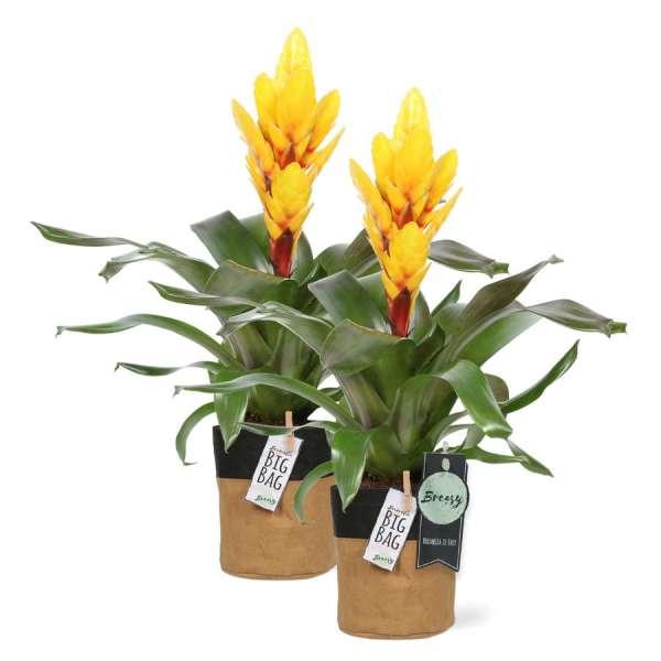 """Bromelia Vriesea Intenso Yellow 2 stuks + pot """"BigBag"""" bestellen of bezorgen"""