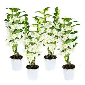 Dendrobium Nobile Apollon - set van 4 stuks bestellen of bezorgen