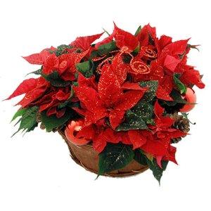 Kerststerren arrangement rood bestellen of bezorgen online