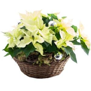 Kerststerren arrangement wit bestellen of bezorgen online
