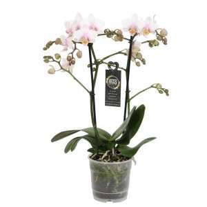 Phalaenopsis Amore Mio Amaglad Soft bestellen of bezorgen
