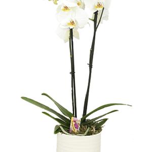 Witte Phalaenopsis in een Stenen pot bestellen of bezorgen online