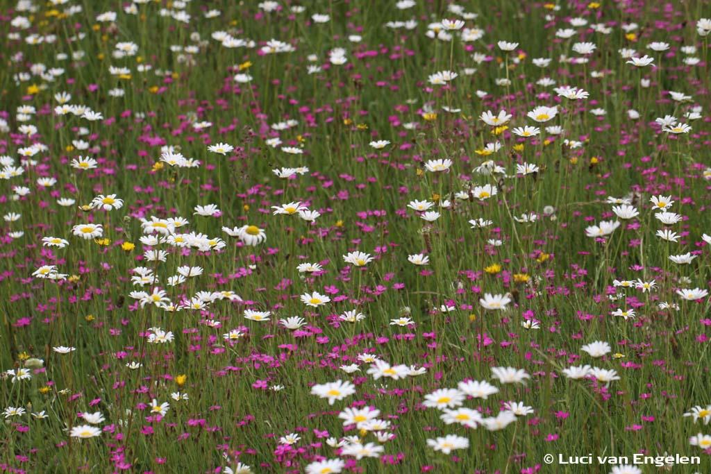 Bloemenweide met Margriet en Steenanjer