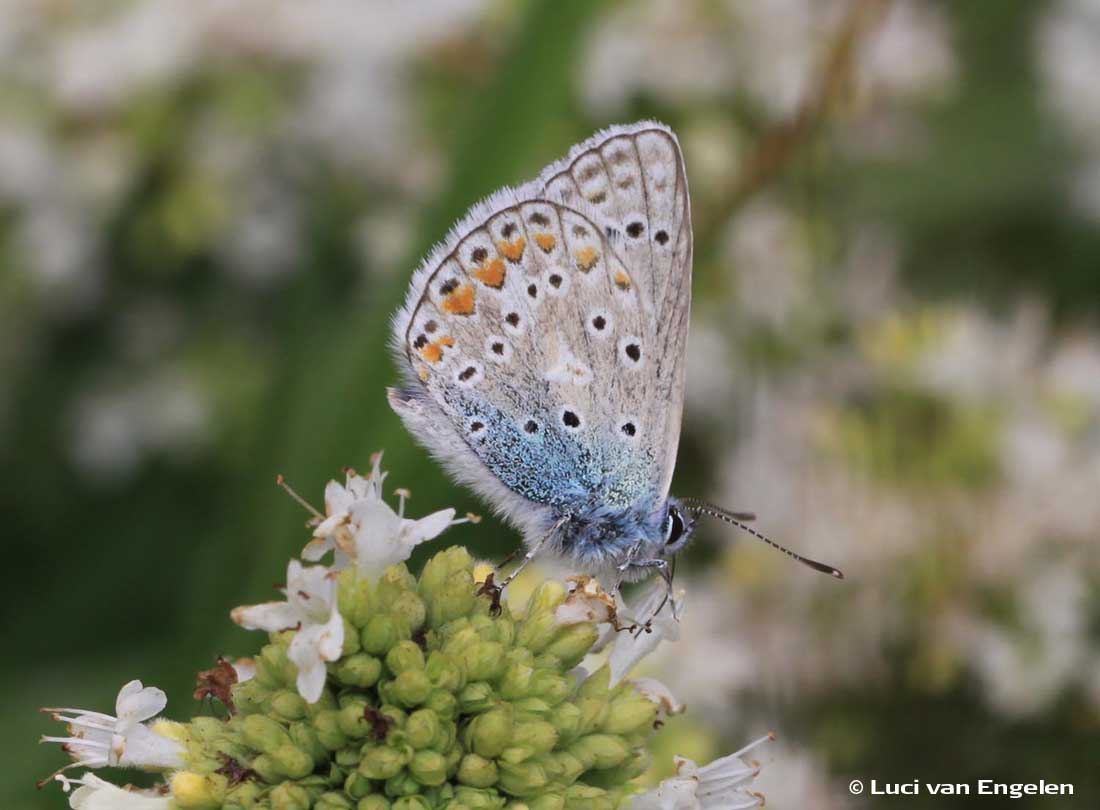 Icarusblauwtje op origanum vulgare
