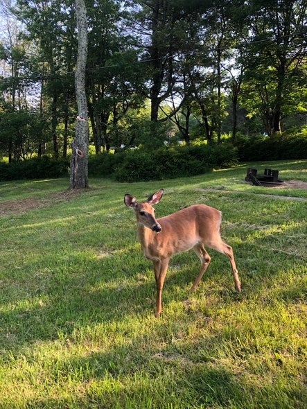 deer in campsite on leave no trace trip