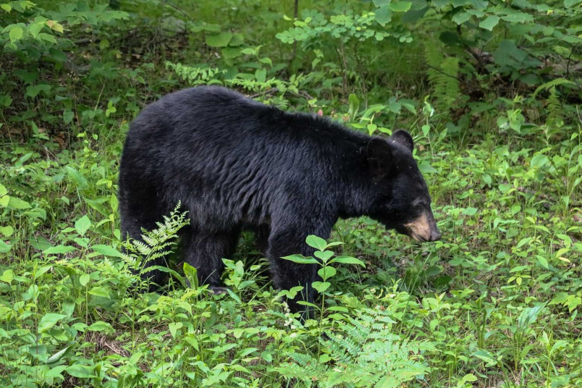 Black bear foraging in shrubs along Skyline Drive