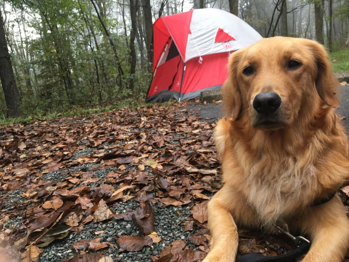 golden retriever in foreground, red and white tent in background at a tree-lined campsite