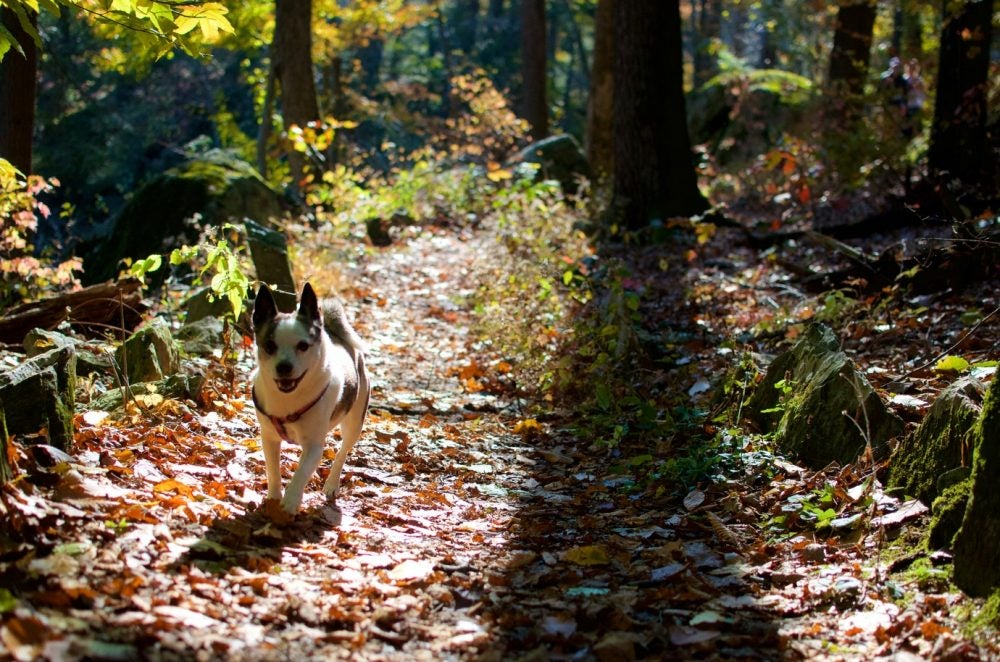 small white and black dog in a harness walking up a leaf-lined trail