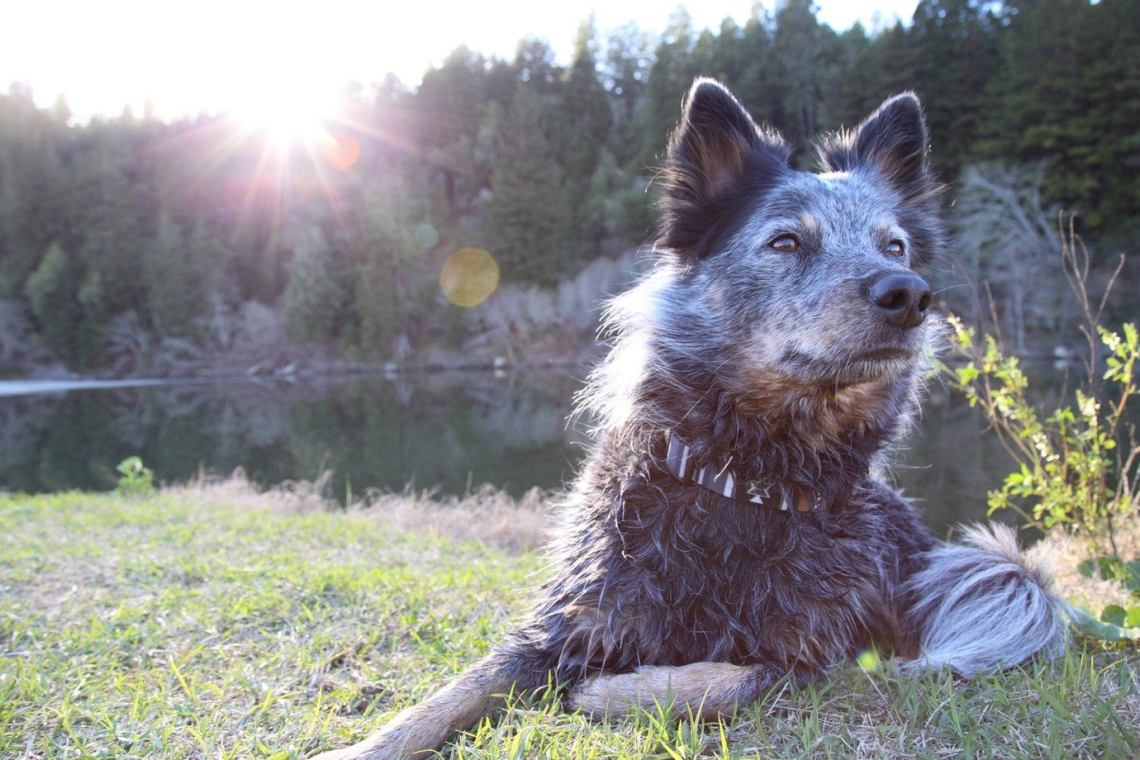 grey dog lounges lakeside with a sunflare in the corner
