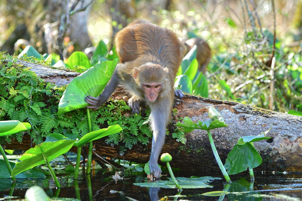 Monkeys of Silver Springs State Park Predicted to Double Their