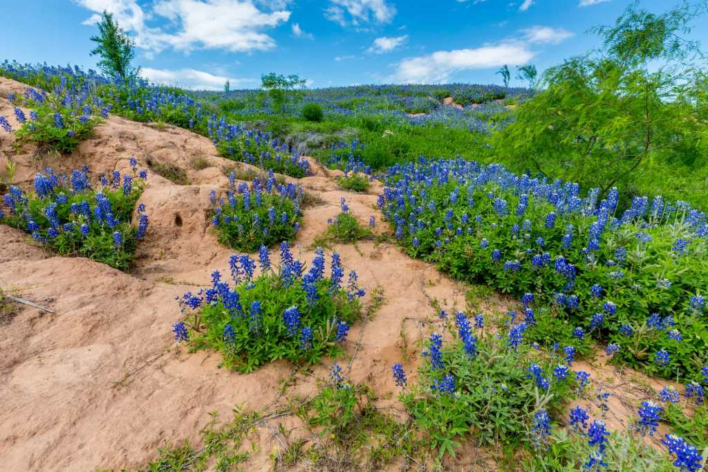 an image of a dry cliff with patches of blooming bluebonnet wildflowers in texas' big bend state park