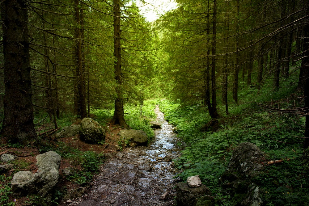Green forest with creek and tall trees