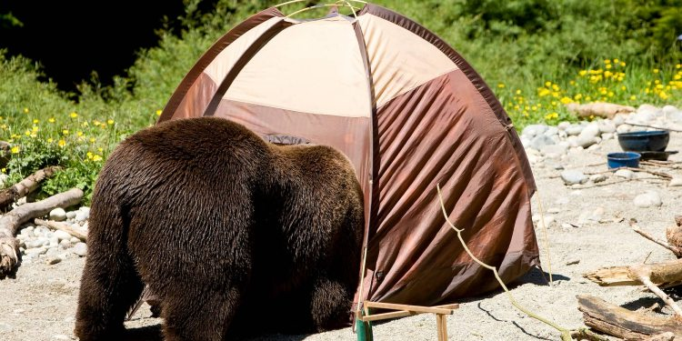 Bear crawling into a tent door.