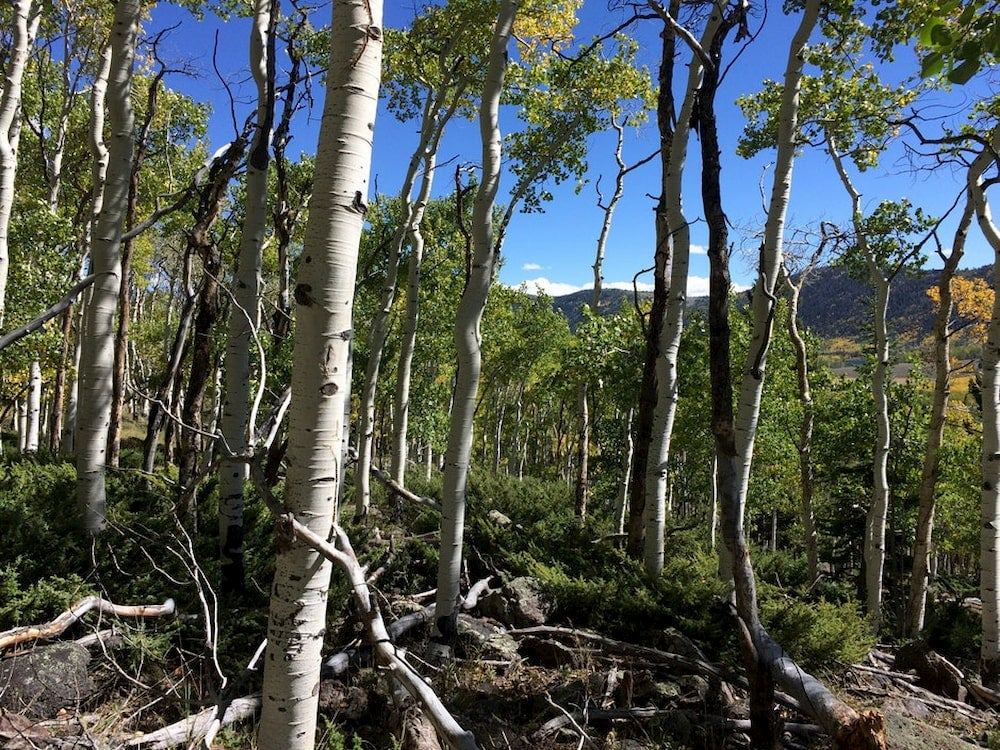 Gnarled aspen tree forest.