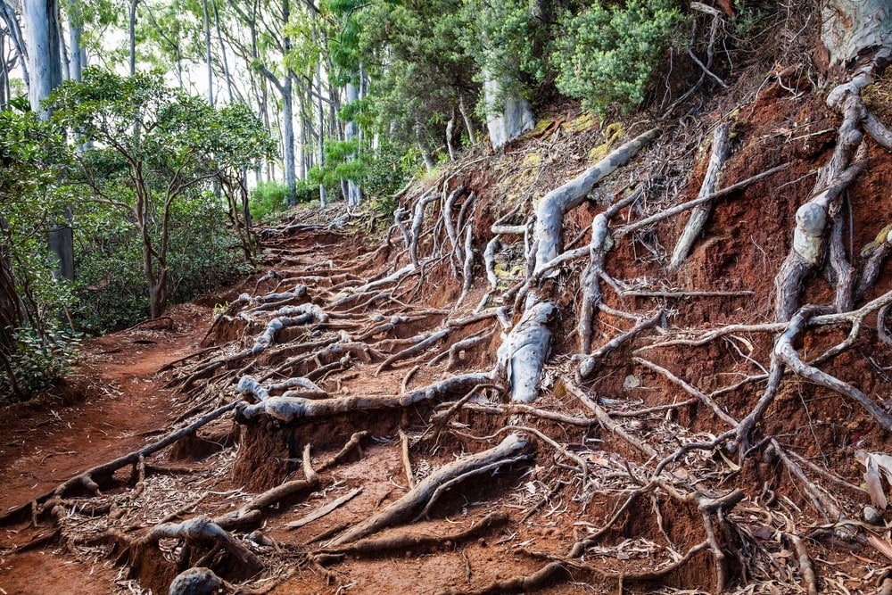 overgrown tree roots line a hiking trail in oahu