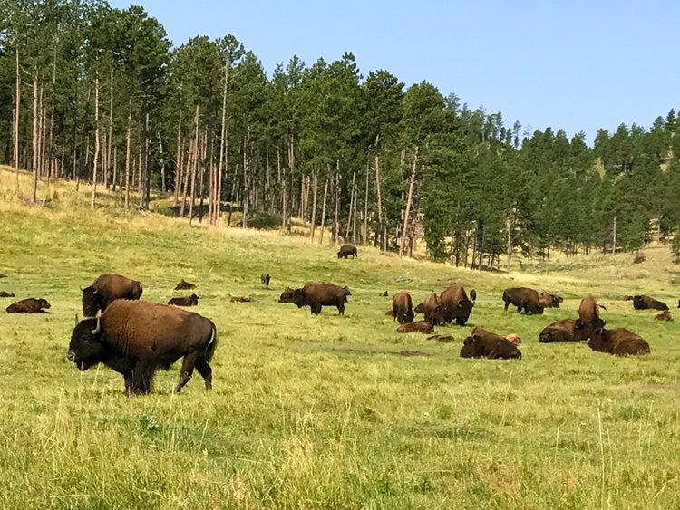 bison in grassland custer state park south dakota