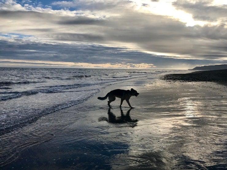 dog walks across wet beach near homer, Alaska. photo from a camper on The Dyrt