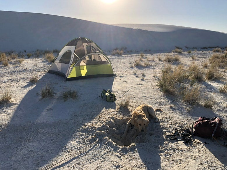 yellow lab digs hole in sand near green tent at white sands national monument in new mexico, photo from a camper on The Dyrt