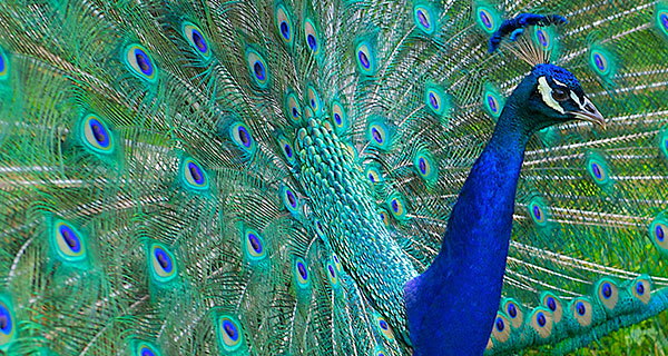 Image of: Spirit Guides The Meaning Of Peacock Sighting California Psychics The Meaning Of Coyote Sighting California Psychics