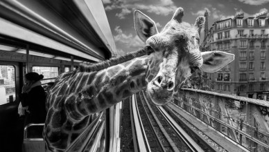 Girafe empruntant le métro parisien