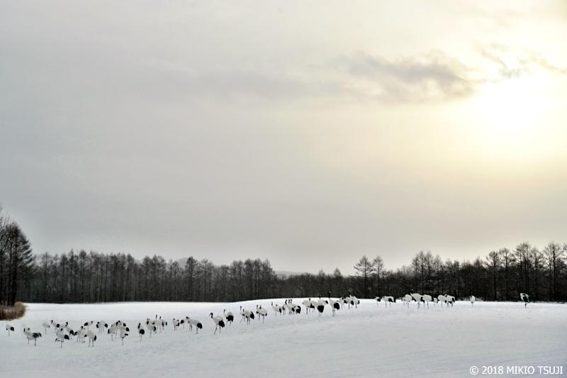 絶景探しの旅 - 0501サンクチュアリで一列に整列するタンチョウ (北海道 鶴居村)