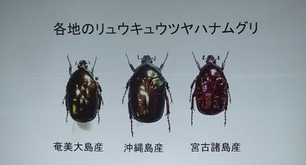 15琉球ハナムグリ