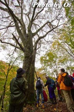 第13回殿様街道ウォーク 巨大ブナの木