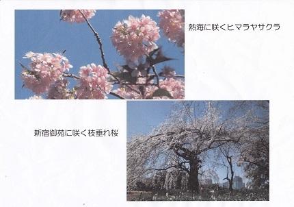 世界の桜!日本の桜!東大和市の桜!7