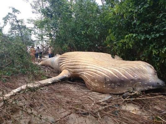 0_PAY-A-36-feet-long-humpback-habitat.jpg