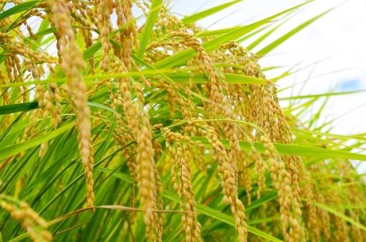 rice7878876.jpg