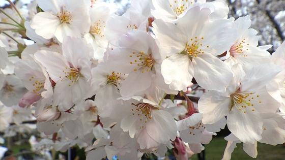 大泉緑地の桜 2019 ソメイヨシノ(桜広場にて撮影 その2)