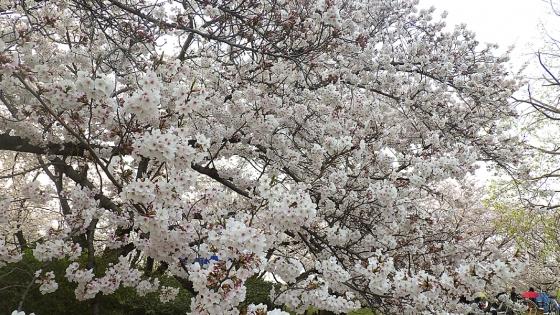 大泉緑地の桜 2019 ソメイヨシノ(桜広場にて撮影 その3)