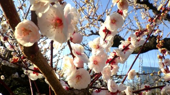 ばいりん! 大阪城梅林 2019 Part3 八重揚羽(やえあげは) その1