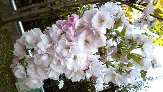 造幣局 桜の通り抜け 2019 Part3 天の川(あまのがわ)