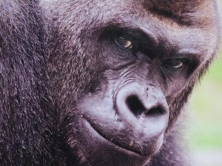 gorilla76546.jpg